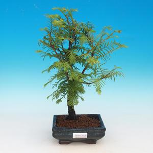 Outdoor bonsai - Tisovec double row