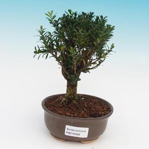 Room bonsai - Buxus harlandii - corked buxus
