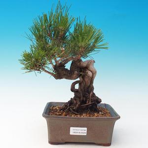 Outdoor bonsai-Pinus thunbergii - Thunberg Pine