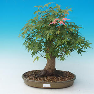 Outdoor bonsai - Acer palmatum - African Maple
