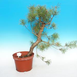 Yamadori - Scots pine - Pinus sylvestris