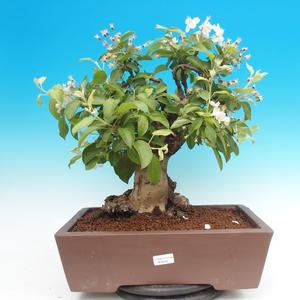 Outdoor bonsai -Maloplodá apple - Malus Halliana