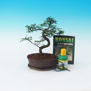 Ficus retusa - Fikus malolistý, Ulmus parvifolia - Chinese elm