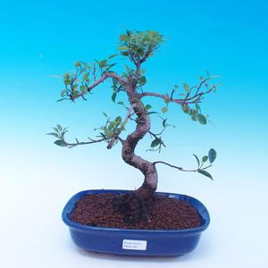 Room bonsai - Ficus retusa - ficus Malolistý