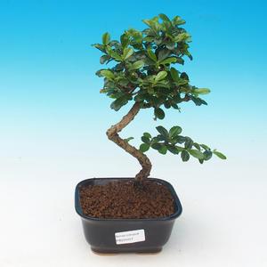 Room bonsai - Carmona macrophylla - Tea fuki