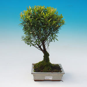 Room bonsai - Syzygium - Pimentovník