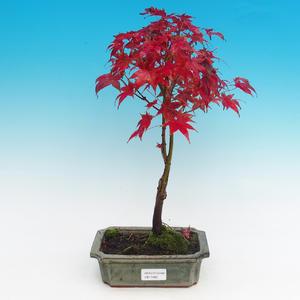 Outdoor bonsai - Maple dlanitolistý