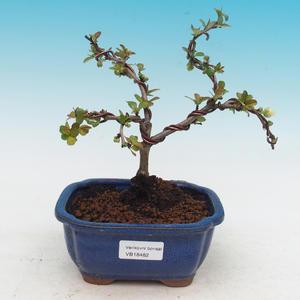 Outdoor bonsai - Chaenomeles superba white jet trail -Kdoulovec