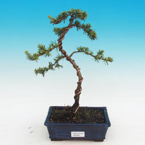 Outdoor bonsai - Cedrus Libani Brevifolia - Cedar green