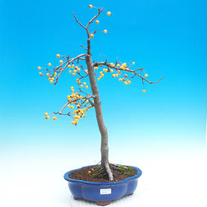 Outdoor bonsai - Malus halliana - Malpopled apple tree