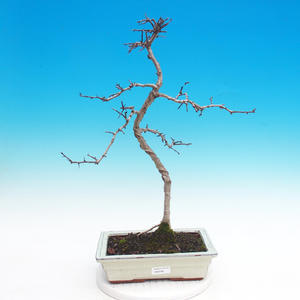 Outdoor bonsai - Hawed one