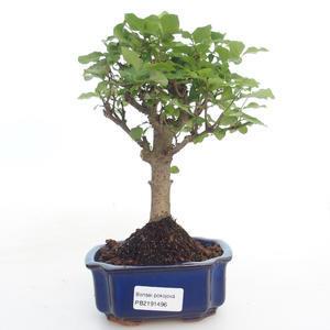 Indoor bonsai -Ligustrum chinensis - Privet PB2191496