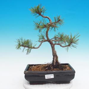 Outdoor bonsai - Pinus mugo mops - Pine bark