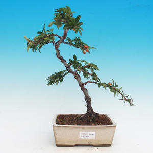 Outdoor Bonsai-Pyracanta Teton-Fireplace
