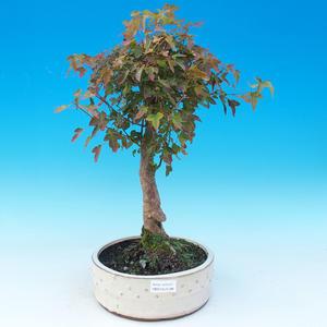 Outdoor bonsai - Maple Buergerianum - Burger Maple
