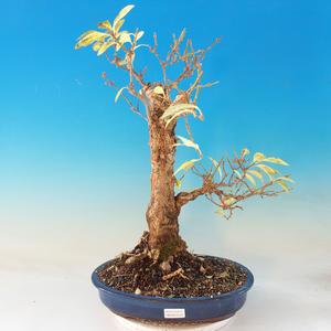 Outdoor bonsai - Zlatice - Forsythia