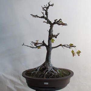 Outdoor bonsai - Acorn maple - Acer platanoides