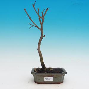 Outdoor bonsai - Tilia cordata - heart beetle