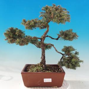 Outdoor bonsai - Chamacyparis pisifera sqarosa dumosa