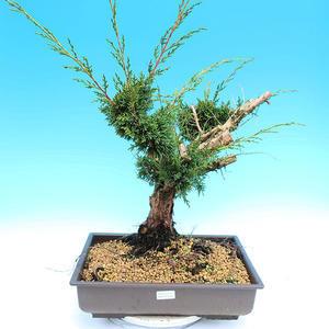 Yamadori Juniperus chinensis - juniper