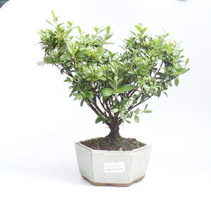 Outdoor bonsai - Rhododendron sp. - Azalea pink