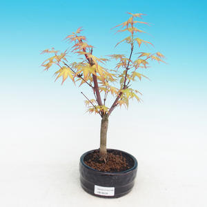 Outdoor bonsai-Acer Sango Koku-