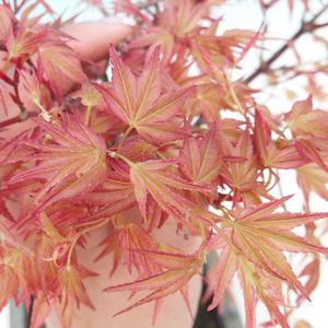 Outdoor bonsai - Acer palmatum Beni Tsucasa - Auburn maple