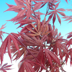 Outdoor bonsai-Acer palmatum Trompenburg-Maple red