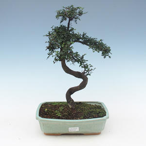 Indoor bonsai - Ulmus Parvifolia-Small leaf elm PB2191558