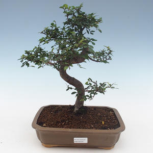 Indoor bonsai - Ulmus Parvifolia-Small leaf elm PB2191559