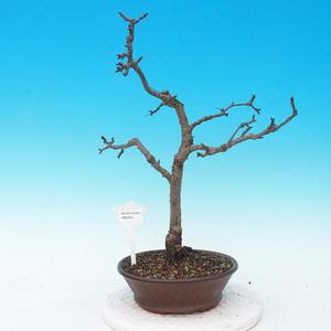 Outdoor bonsai-Malus red-eyed apple tree