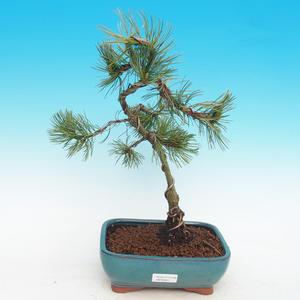 Outdoor bonsai -Pinus parviflora-Small pine