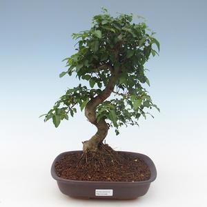 Indoor bonsai - Ligustrum chinensis - Privet PB2191568