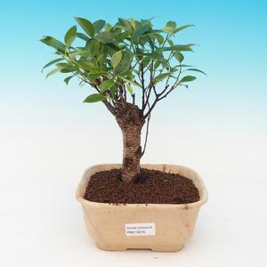 Room bonsai - malolistý ficus PB216939