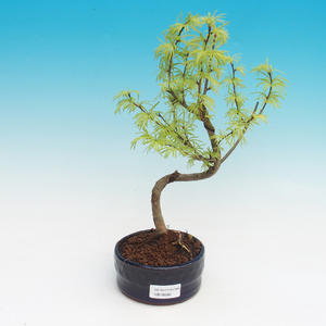 Outdoor bonsai -Pseudolarix amabis-Pamodrine