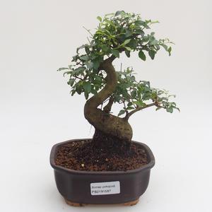 Indoor bonsai -Ligustrum chinensis - Privet PB2191587