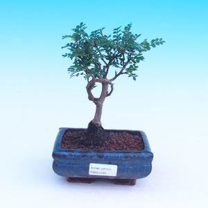 Room bonsai - Zantoxylum piperitum - kava