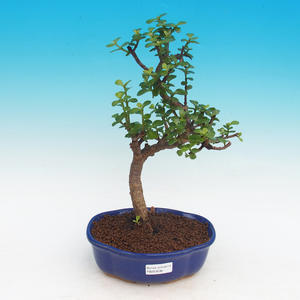 Room bonsai - Portulakaria Afra - Tlustice