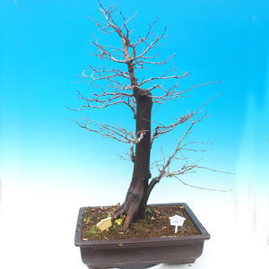 Outdoor bonsai - Common carp - Carpinus carpinoides