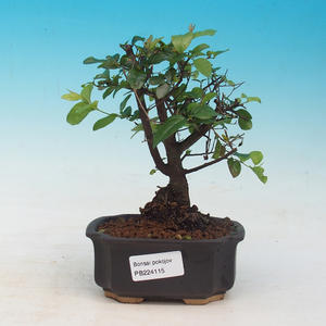 Room bonsai - Sagetie thea