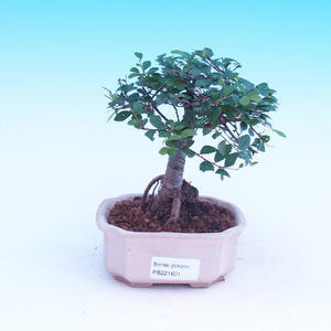 Room-bonsai Ulmus parvifolia-Malolistý elm