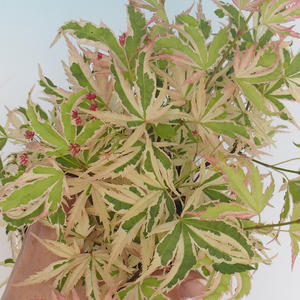 Outdoor Bonsai - Japanese Maple Acer palmatum Butterfly 408-VB2019-26728