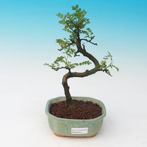 Outdoor bonsai-Ginkgo biloba