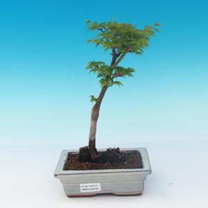 Outdoor bonsai - Acer palmatum SHISHIGASHIRA- Lesser maple