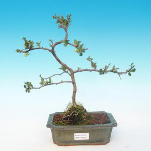 Outdoor bonsai - Chaenomeles superba jet trail - White quince