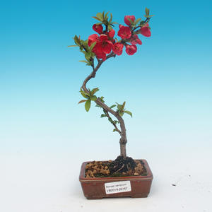 Outdoor bonsai - Chaneomeles japonica - Japanese quince