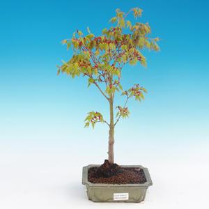 Acer palmatum Aureum - Golden Japanese Maple