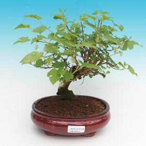 Outdoor bonsai - Morus alba - Mulberry