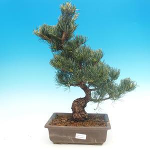 Outdoor bonsai - Pinus parviflora - Small pine tree