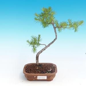 Outdoor bonsai - Larix decidua - Larch deciduous